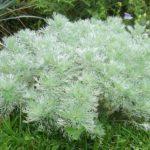 Легкий ветер степей приносит слегка горчащий аромат полыни – такого обычного и необыкновенного растения.